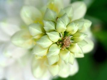 Lupinus (Lupin, White)