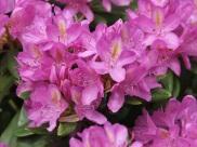Rhododendron 'Senora Meldon'