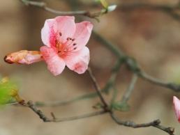 Rhododendron simsii (Red Azalea)