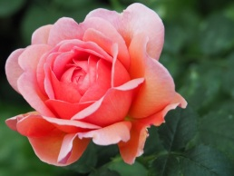 Rose 'Gail Borden'