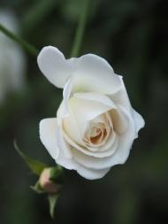 Rose 'Pascali'