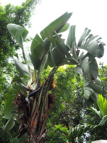 Strelitzia nicolai (Giant White Bird of Paradise)