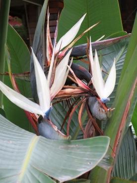 Strelitzia nicolai (Giant White Bird of Paradise)
