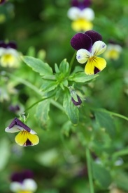 Viola tricolor (Heartsease)