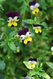 Viola tricolor (Heartsease)