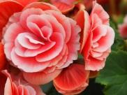 Begonia 'Elatior Begonia'
