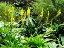 Bulbine natalensis