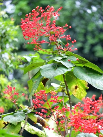 Clerodendrum buchananii 'Java Glorybower'