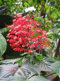 Clerodendrum buchananii 'Java Glorybower'