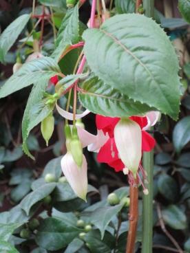 Fuchsia hybrida 'Garden Fuchsia' (1)