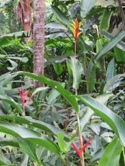 Heliconia psittacorum 'Lady Di'