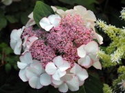 Hydrangea macrophylla (Pink and White)