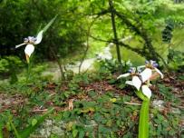 Iridaceae