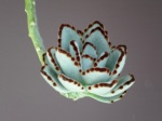 Kalanchoe tomentosa (Panda Plant)