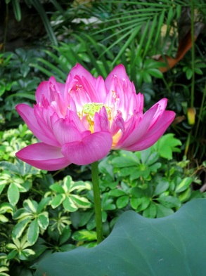 Nelumbo nucifera 'Sanshui Jiali' (Lotus)