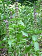 Ocimum basilicum var. thyrsiflora (Thai Basil)