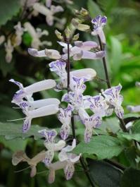 Plectranthus 'Mona Lavender' (Spur Flower)