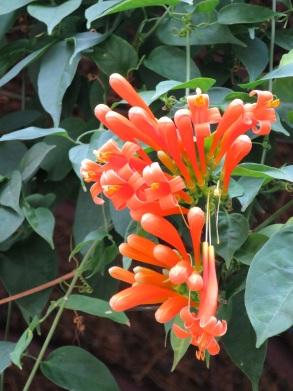 Pyrostegia venusta (Orange Trumpet Vine)