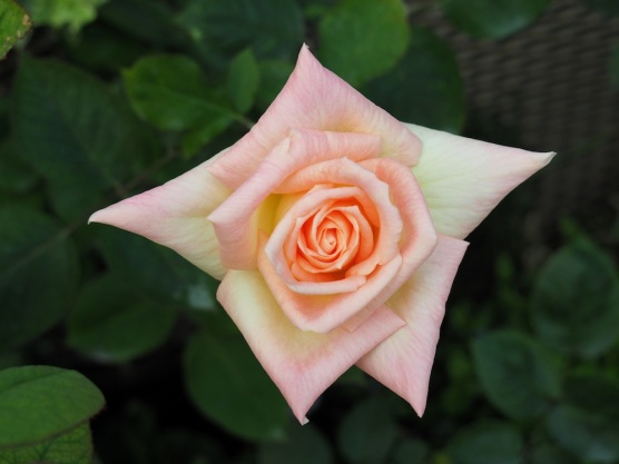 Rose 'Grandmere Jenny'