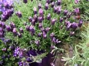 Lavandula stoechas 'Anouk' (French Lavender)