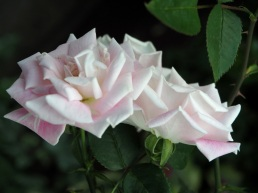 Rose 'Royal Highness'
