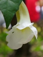 Thunbergia erecta 'Alba' (White King's Mantle)
