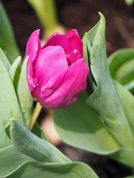 Tulipa gesneriana (Garden tulip)