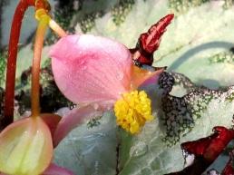 Begonia rex (Fireworks)