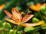 Belamcanda chinensis (Blackberry Lily)