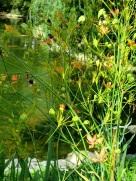 Belamcanda chinensis (Blackberry Lily)