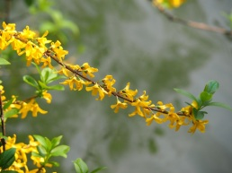 Forsythia suspensa 'Golden Bell'