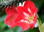 Hippeastrum (Barbados Lily)