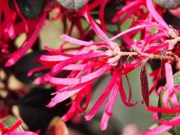Loropetalum chinense (Chinese fringe flower)