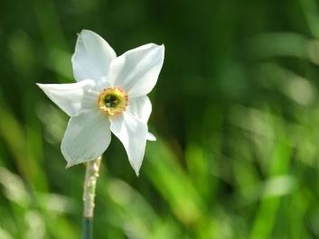 Narcissus 'Tullybeg'
