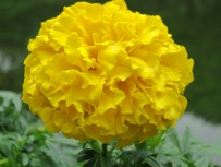 Tagetes erecta (Mexican Marigold)