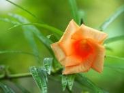 Thervetia peruviana (Lucky Nut)